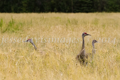 Creamer's Field, Fairbanks AK, Aug 25, 2014